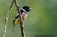 Black-and-yellow Broadbill - Eurylaimus ochromalus