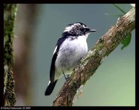 Little Pied Flycatcher - Ficedula westermanni
