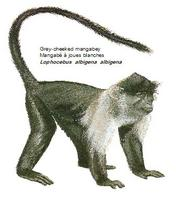 Grey-cheeked mangabey