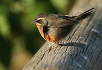 *NEW* Black-and-rufous Warbling-finch