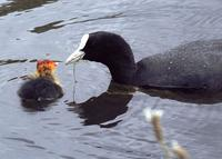A coot offering some greenery to its chick.