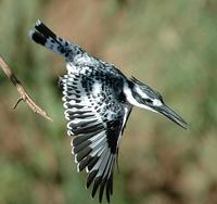 Pied Kingfisher p.222