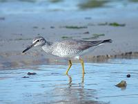 노랑발도요    |  gray-tailed tattler   Tringa brevipes