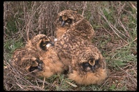 : Asio flammeus; Short-eared Owl
