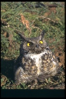 : Bubo virginianus; Great Horned Owl