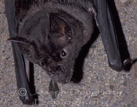 : Chrotopterus auritus; Big-eared Woolly Bat