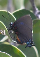 : Atlides halesus estesi; Great Purple Hairstreak