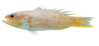 Bathyanthias mexicanus, Yellowtail bass: