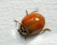 Image of: Coccinellidae (lady beetles and ladybird beetles)