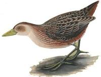 Image of: Aenigmatolimnas marginalis (striped crake)