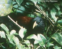 Green-billed Coucal - Centropus chlororhynchos