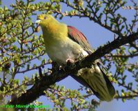 White-bellied Green Pigeon - Treron sieboldii