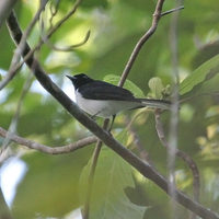 White-tailed Monarch - Monarcha leucurus
