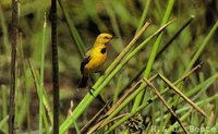 Yellow Chat - Epthianura crocea