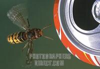 hornet ( Vespa crabro ) at a coke can stock photo