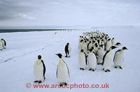 ...FT0103-00: Column of adult Emperor Penguins file along beside the floe edge and open water Antar