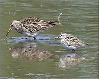 Pectoral Sandpiper & Long-toed Stint