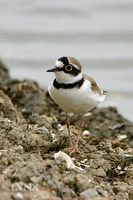 Little Ringed Plover 金眶鴴
