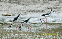 Photo of pisila karibská, Himantopus mexicanus, Blach necked Stilt, Candelero Mexicano