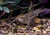 ムナフジチメドリ Puff-throated Babbler Pellorneum ruficeps