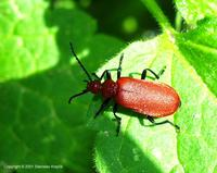 Pyrochroa serraticornis - Red-Headed Cardinal Beetle