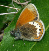 Coenonympha gardetta - Alpine Heath