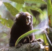Buffy-tufted-ear marmoset (Callithrix aurita)