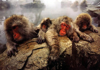 photo of snow monkeys : Macaca fuscata