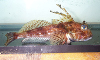 Icelinus filamentosus, Threadfin sculpin: