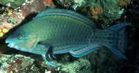 Scarus psittacus, Common parrotfish: fisheries, aquarium