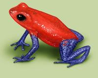 Image of: Dendrobates pumilio (strawberry poison dart frog)