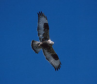 Rough-legged Hawk (Buteo lagopus) photo