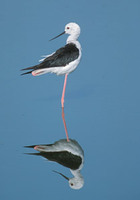 Black-winged Stilt (Himantopus himantopus) photo
