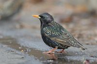 European (Common) Starling (Sturnus vulgaris) photo
