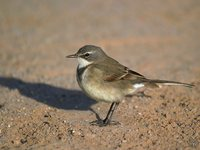 Cape Wagtail - Motacilla capensis