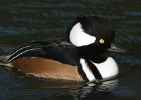 A male Hooded Merganser on water.