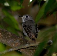 Asian Brown Flycatcher 5