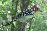 Red-and-yellow Barbet p.262