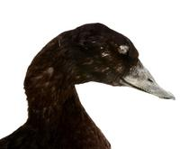 검둥오리사촌   White-winged Scoter | Melanitta fusca