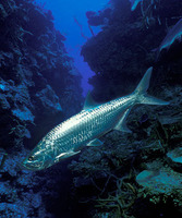 Megalops atlanticus, Tarpon: fisheries, aquaculture, gamefish, aquarium