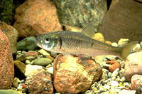 Luxilus chrysocephalus, Striped shiner: