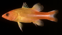 Liopropoma multilineatum, Manyline perch: