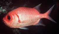 Myripristis xanthacra, Yellowtip soldierfish: