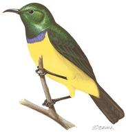 Image of: Hedydipna collaris (collared sunbird)