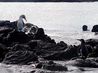 Image of: Sula nebouxii (blue-footed booby), Spheniscus mendiculus (Galapagos penguin)