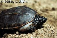 Image of: Staurotypus triporcatus (Mexican giant musk turtle)
