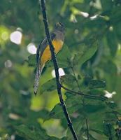 Black-throated Trogon (Trogon rufus) photo