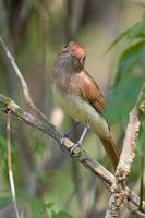 Ash-throated Casiornis - Casiornis fusca