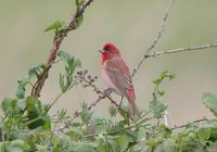 Common Rosefinch - Carpodacus erythrinus