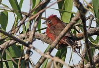 Red-crested Finch - Coryphospingus cucullatus